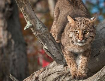 bobcat in tree
