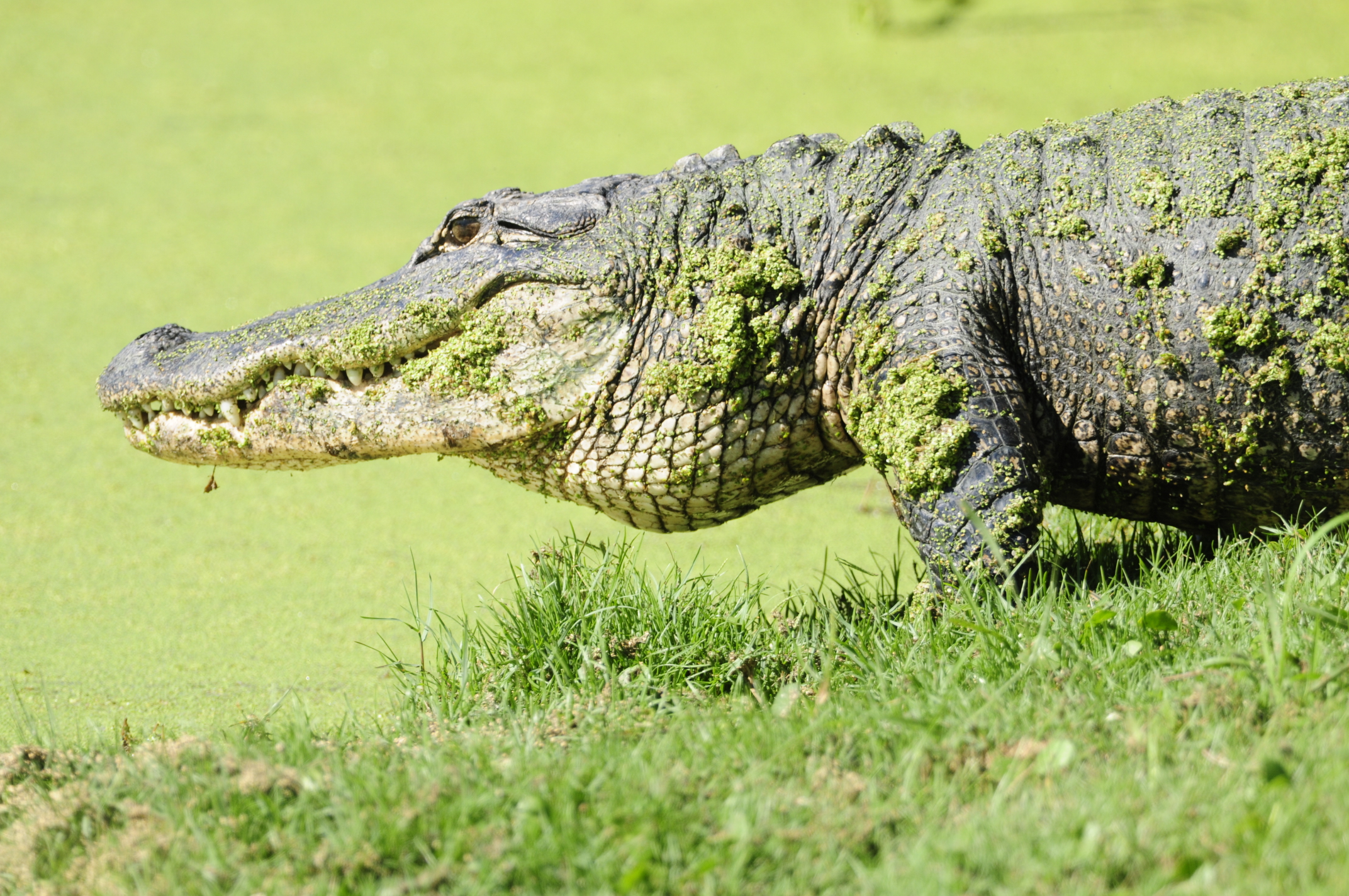 alligators on kiawah island