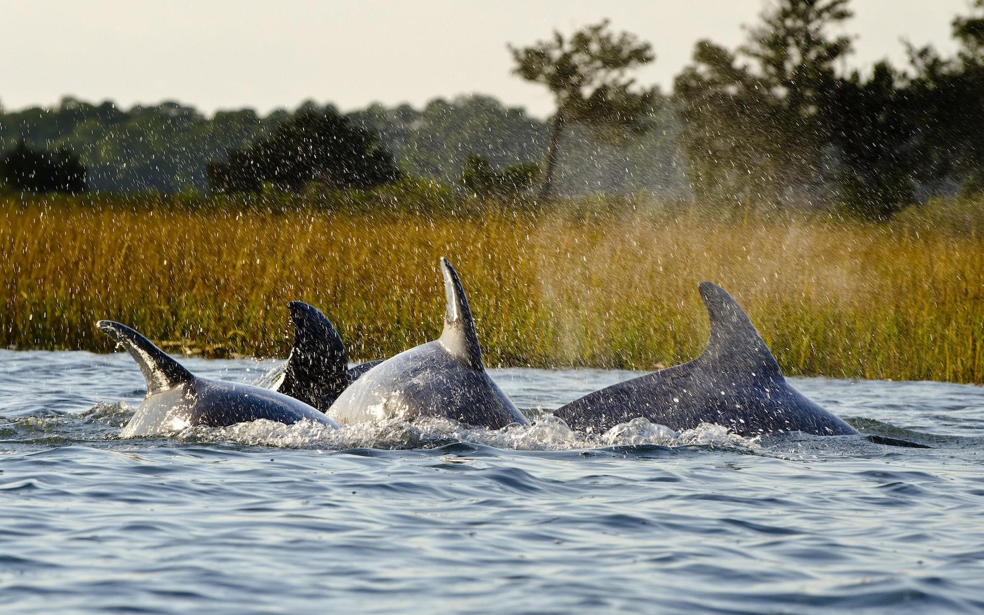 bottlenose dolphins on kiawah island