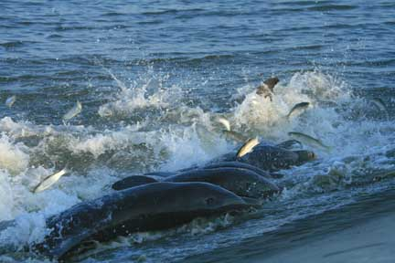 bottlenose dolphins off south carolina coast
